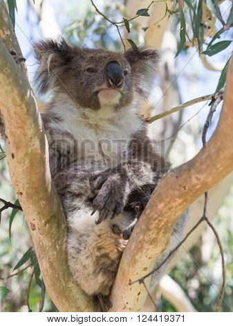 funny furry sluggish gray-brown koala with a white breast sitting on a eucalyptus tree in the eucalyptus forest Australia