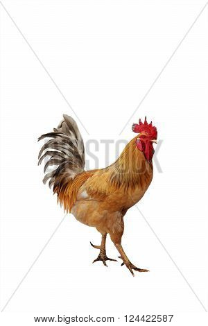 red beautiful rooster strutting on a white background isolated