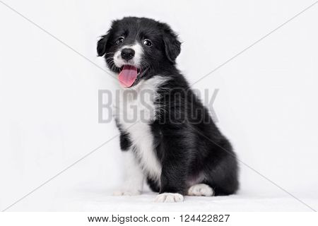 cute Border collie puppy on a white background