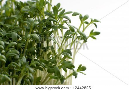 Macro shot garden cress in front of a white background