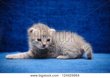The fluffy kitten slay on a dark blue background