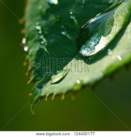 Fresh herb leaf with dew drops