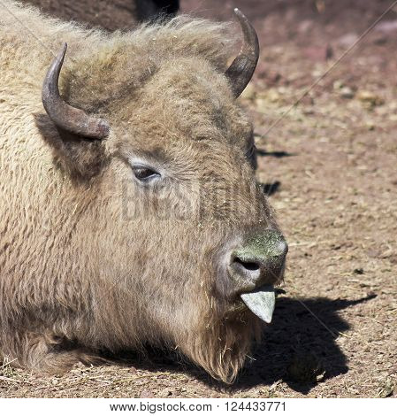 A Close Portrait of a Buffalo Sticking Out its Tongue