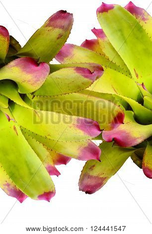 Bromeliad , Bromeliaceae  ,isolated on white .