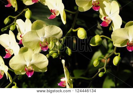 pale yellow phalaenopsos hybrid orchids blooming inside the tropical greenhouse in Chenshan Botanical Garden Shanghai China.