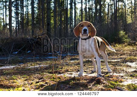 Beagle watch to camera and stay in the forest. Blank place for text
