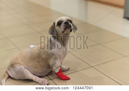 Injured dog with bandage on leg and back at hospital