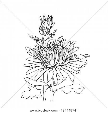Flower hand drawn chrysanthemum isolated on white. Vector. Hand drawn artwork. Love concept for wedding invitations, cards, tickets, congratulations, branding, boutique logo, label