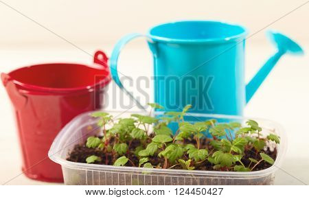 Box with seedling and agricultural tools. Young green sprouts of plants a bucket and a watering can on white background
