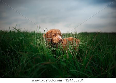 Dog Nova Scotia Duck Tolling Retriever Walking In The Park