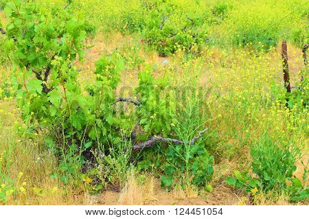 Vineyard grapevines amongst mustard flowers during spring