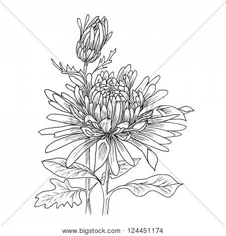 Flower hand drawn chrysanthemum isolated on white. Vector. Hand drawn artwork. Love concept for wedding invitations, cards, tickets, congratulations, branding, boutique logo, label.