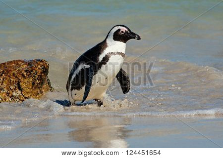 African penguin (Spheniscus demersus) in shallow water, Western Cape, South Africa