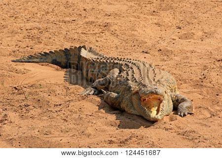 A Nile crocodile (Crocodylus niloticus) basking with open jaws, Kruger National Park, South Africa