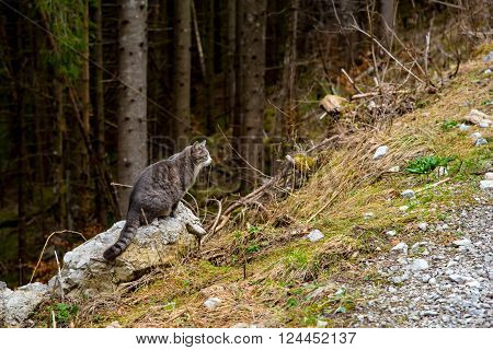 forest cat hunting in spring. Unusual perspective.
