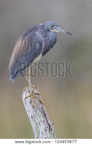 Tricolored Heron Perched On A Dead Branch - Florida