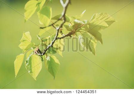 Sunny young green spring  leaves, natural eco background