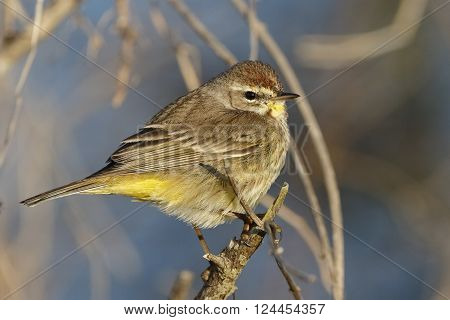 Adult Palm Warbler In Late Winter - Melbourne, Florida