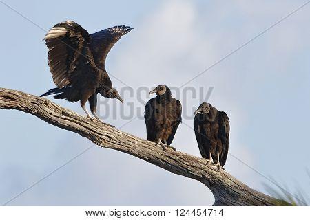 Black Vultures On A Branch - Florida
