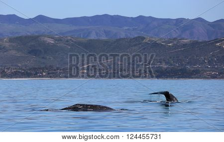 Migrating Gray Whales Pass Southern California Shores