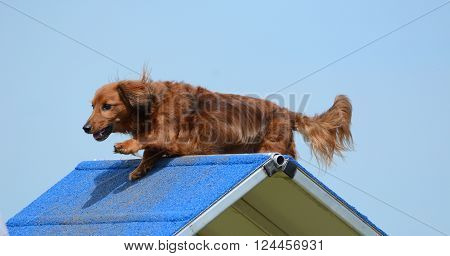 Dachshund Climbing Over an A-Frame at a Dog Agility Trial