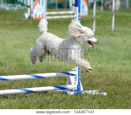 Miniature Poodle Running Leaping Over a Jump at an Agility Trial