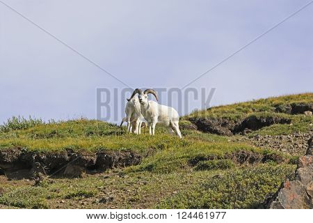 Dall Sheep on Remote Ridge in Denali National Park in Alaska