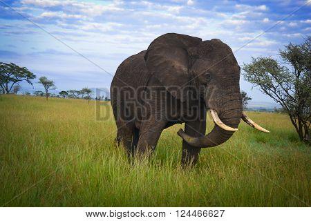 Big nice elephant mate serengeti adventure safari in Africa