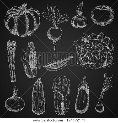 Chalk sketches of corn cob and onion, pumpkin and tomato, beet and pea, eggplant and garlic, zucchini and cauliflower, scallion, asparagus and chinese cabbage vegetables on blackboard. Vintage engraving stylized veggies for restaurant menu board design