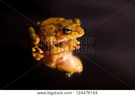 Pseudophilautus - Shrub frog from the family Rhacophoridae - Sniharaja rainforest Sri Lanka