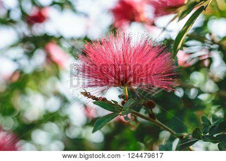 Pink Red Powder Puff or Calliandra haematocephala