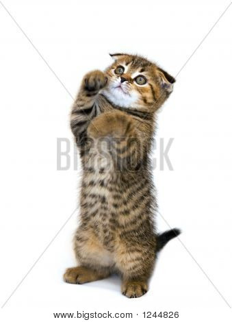 Little Playful Kitten Isolated On White Background