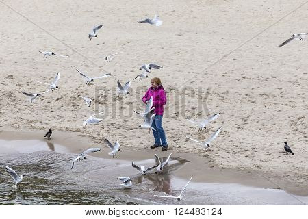 KOSEROW GERMANY - MAR 31 2016: woman loves to feed the seagulls at the baltic sea in Koserow Germany. Feeding seagulls is allowed at the beaches. In town its mostly forbidden.
