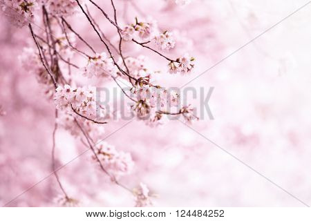 Cherry blossom in full bloom. Cherry flowers in small clusters on a cherry tree branch. Shallow dept