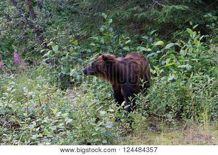 Grizzly bear at hyder Alaska close up