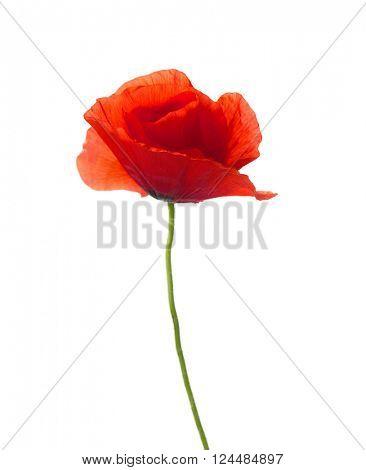Red poppy isolated on white. studio shot