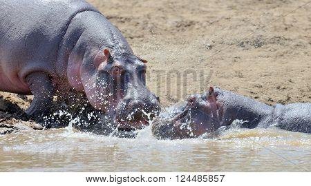 Hippo (Hippopotamus amphibius) in the water. Kenya, Africa