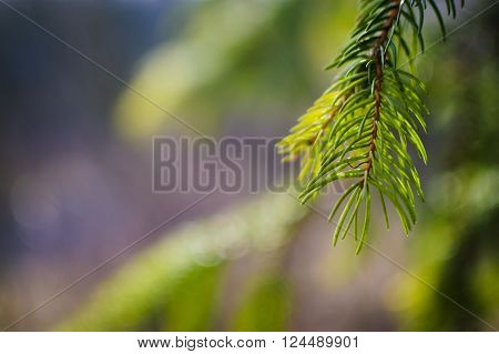 Beautiful fir tree twigs on blurred background outdoors. Young pine tree branch. The background of bright green spruce. Beautiful nature spring wallpaper for desktop. Selective focus.