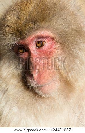 Monkey in brown