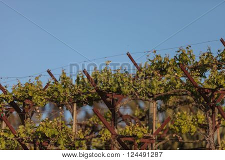 A vineyard thrives in front of a garden in Napa, California