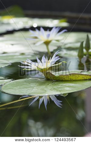 Nymphaea Caerulea - Blue Lotus of Egypt flowers with primary focus on the closest flower and it's reflection leaving everything else soft and dreamy.