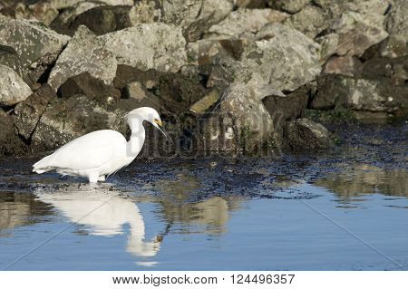 Snowy egret in reflective water looking for food rocks in background reflection in the water