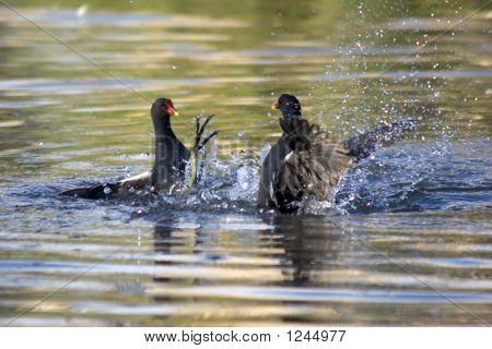 Squabbling Moorhens