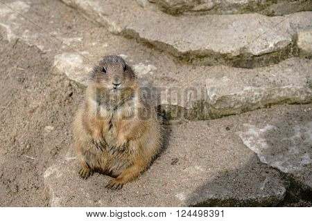watchful prairie dog on a rock in a Zoo