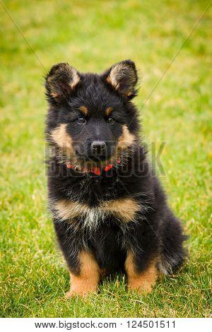 Chodian Dog Puppy - Czech National Breed