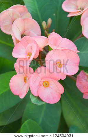 beautiful pink Euphorbia flower in nature garden ** Note: Soft Focus at 100%, best at smaller sizes