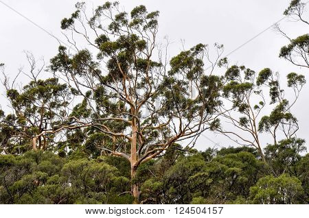 Tall Karri trees towering above the tree tops in the dense forest in Margaret River, Western Australia.