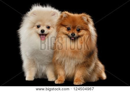 Two Fluffy White and Red Pomeranian Spitz Dogs Sitting and Smiling in Front view on Black isolated Background