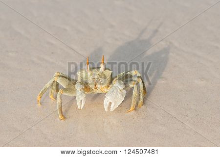 seychelles ocypode ceratophthalmus also called ghost crab