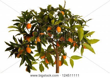 Fresh, Ripe Kumquats Fruit On Growing Kumquat Plant With Green Leafs.